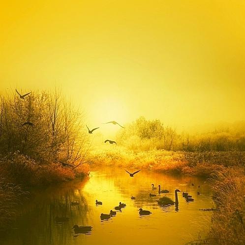 湖を包む黄金の朝靄の中を飛び立つ白鳥.