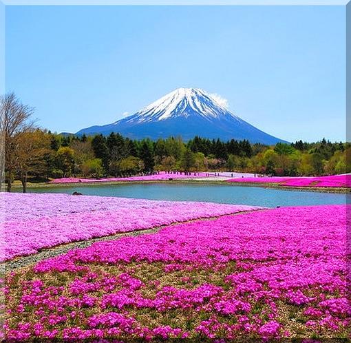 しば桜まつり
