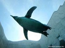 旭山動物園『ペンギン館』の水中トンネル