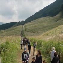 *箱根仙石原のススキ1 毎年多くの観光客が訪れます!