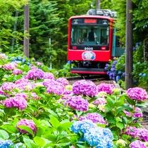 **【箱根登山鉄道 彫刻の森駅付近】別名「あじさい電車」。6月下旬から7月中旬に見ごろを迎えます。