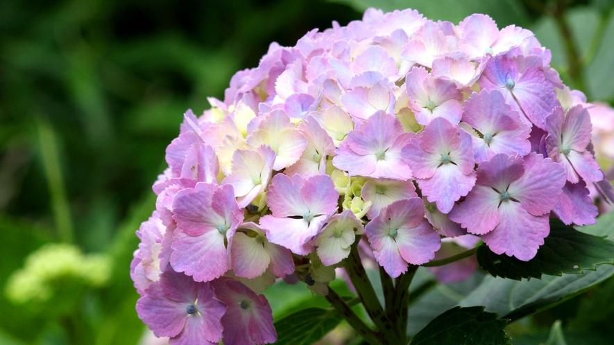 *【周辺観光】箱根の初夏の風物詩、あじさいは6月中旬~7月中旬が見頃です。