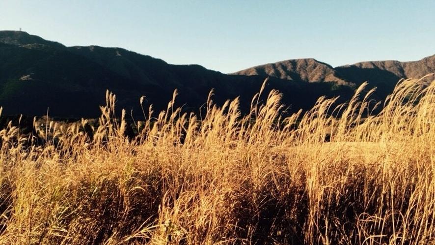 *【周辺観光】仙石原すすき草原の見頃は、10月中旬~11月中旬頃です。