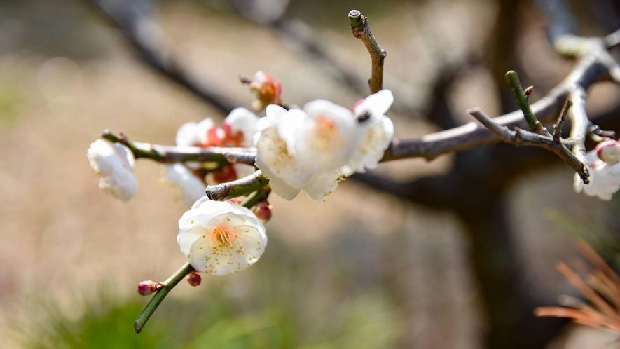 *当館の庭では梅もお楽しみいただけます