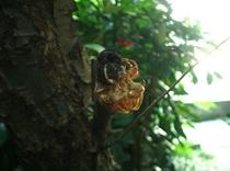 夏のイメージ(クマゼミの羽化殻)