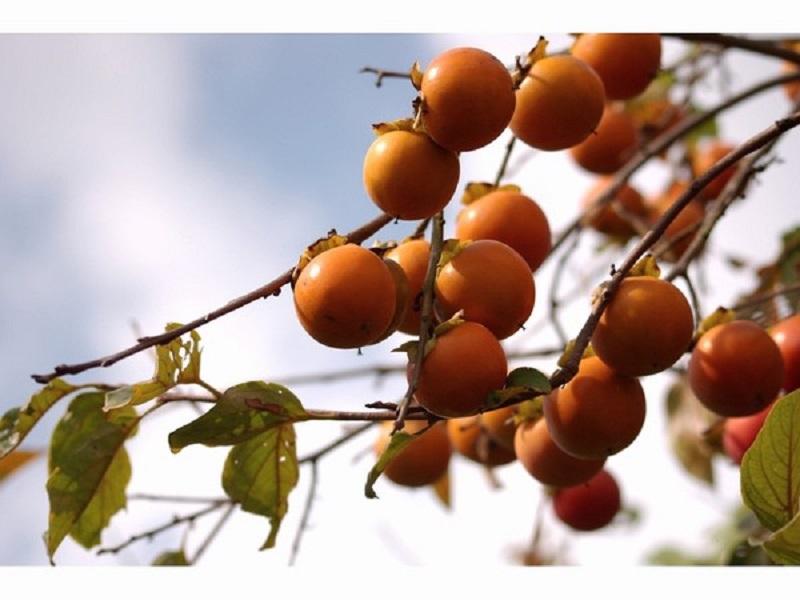フルーツの町あさくらの「柿」
