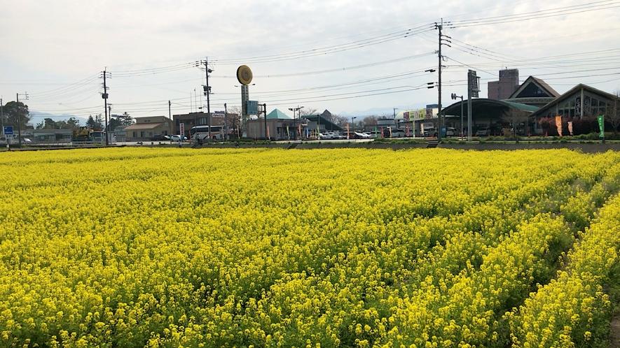 バサロ前の菜の花畑