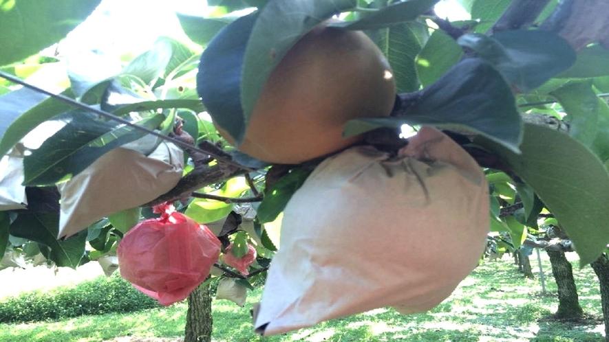 うきはの梨