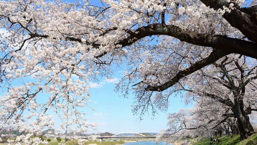 白石川堤一目千本桜(ひとめせんぼんざくら)