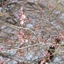 2013年咲き始めの桜