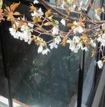 例年3月末頃に見頃を迎えます浴場前の山桜