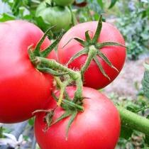 ☆施設_自家菜園_トマト