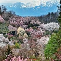 観光地:花見山 福島の桃源郷。花見山はお花見の名所として知られています。
