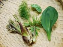 春の山菜、薬草 天麩羅でどうぞ