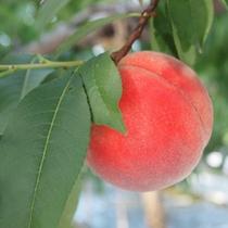 桃狩り◆甘くて美味しい桃!香りも楽しめます!