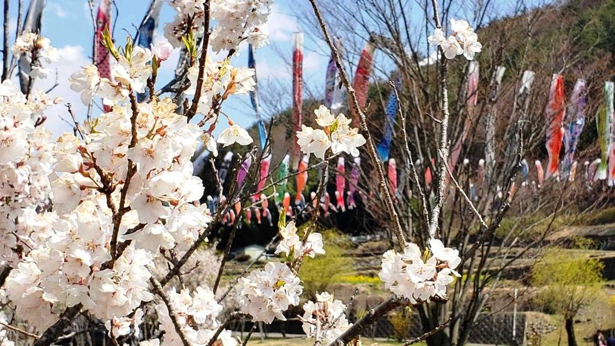 【周辺】春は桜とたくさんのこいのぼりが競演する道の駅南きよさと。当館から車で5分です。