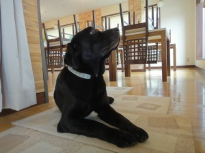 看板犬の黒ラブ・ハルコ