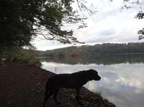 秋の一碧湖で(黒ラブ・ハルコ)