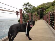 城ヶ崎海岸の吊り橋で(黒ラブ・ハルコ)