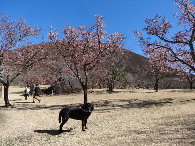 春の大室山