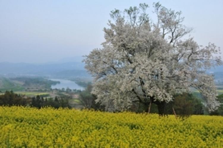 飯山市菜の花公園の桜と菜の花