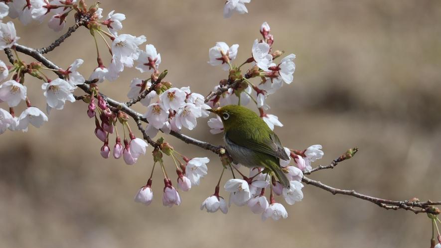メジロと桜。お部屋の窓から見られます。