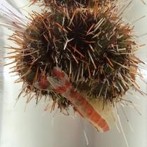 ウニがエビの抜け殻からカルシウムを補給中