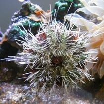 水槽の苔を食べてくれる働き者のウニ