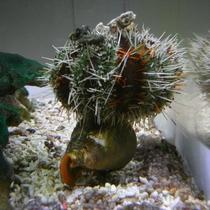 ウニが貝の上に乗ってます