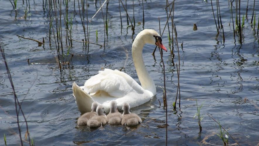 白鳥は山中湖に住み着いていて毎年子育てしています。