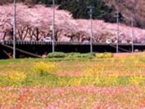 松崎、中川の田んぼを使った花畑(3月上旬〜GWにかけてヒナゲシなど6種類の花が咲き誇ります。)