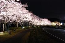 那賀川沿いの桜並木が満開を迎える3月下旬〜4月上旬、桜のライトアップが行われます。