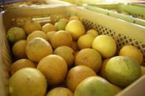 自家製柑橘「ニューサマーオレンジ」