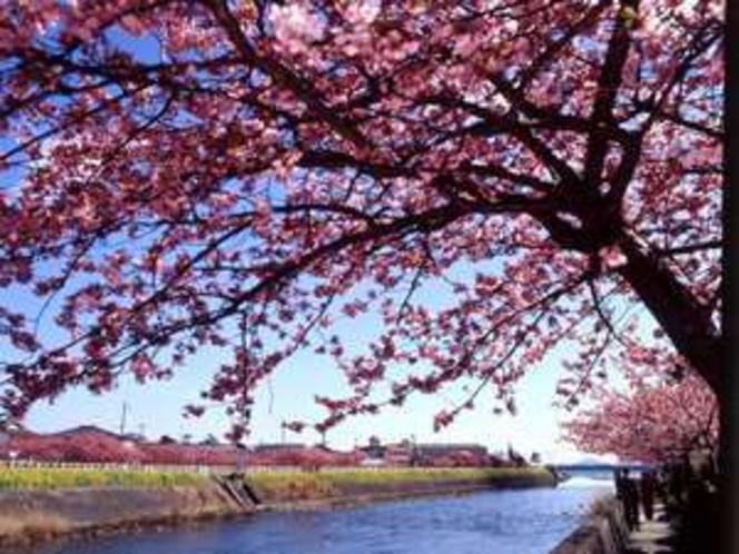 河津桜まつりは2月6日〜3月10日迄。当館から徒歩5分で河津川桜並木へ