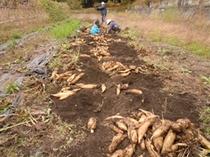 ヤーコン収穫