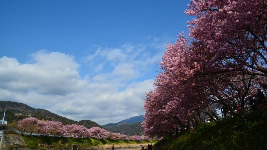 【周辺観光】河津桜/春の訪れを告げる早咲き桜
