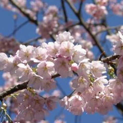 2019年3/23~3/31 伊豆高原桜まつり