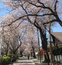 【柏公園】桜並木
