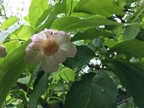 テラス前のお花 ナツロウバイ