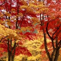 *【紅葉(一例)】中野もみじ山。全山燃えるような紅葉です。