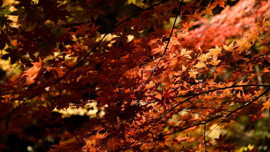 *【紅葉】例年の見ごろは10月下旬~11月上旬
