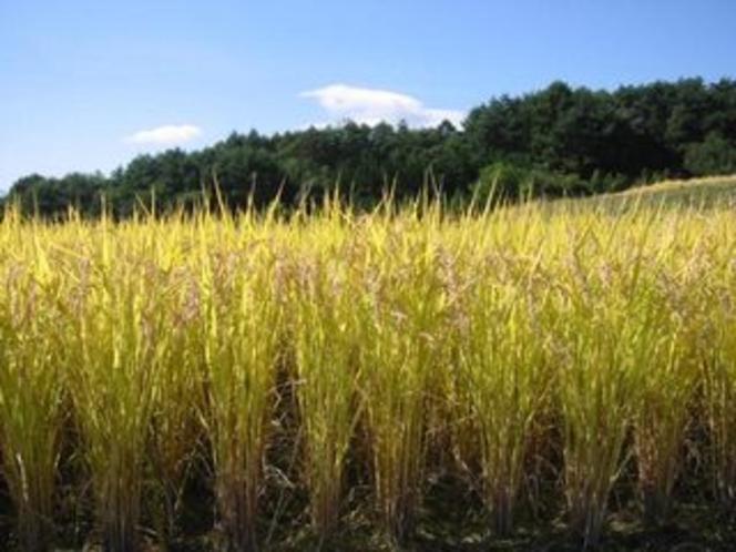 自家製のコシヒカリ米