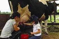 牛の乳搾りに挑戦