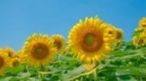 季節・夏・ひまわり