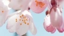 季節・春・桜アップ