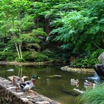 日本庭園では鴨たちがお客様をお出迎え♪