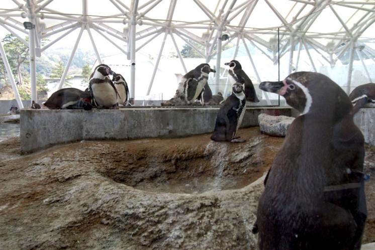 城崎マリンワールド/ペンギンの散歩が見られますよ。