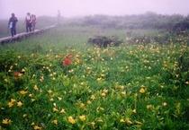 雄国沼のニッコーキスゲ