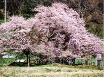 [周辺観光]石部桜