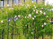 薔薇ガーデン。